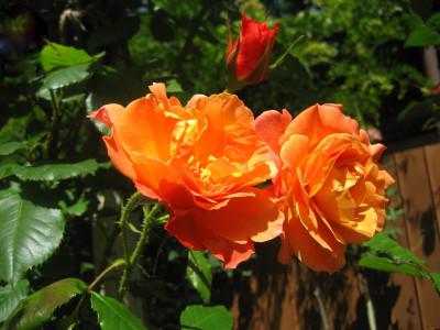 Tapeta: Růže02