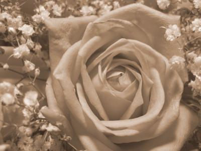 Tapeta: Růže