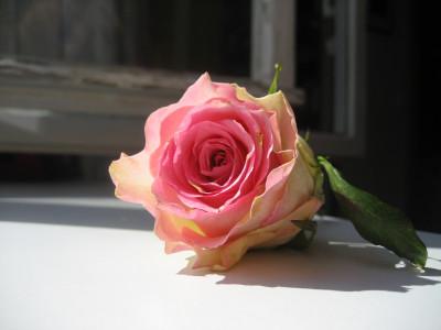 Tapeta: Růže13