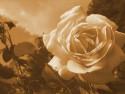 Tapeta Růže15