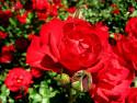 Tapeta růže21