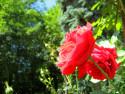 Tapeta Růže25