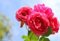 Tapeta Růže85