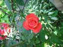 Tapeta růže 3