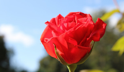 Tapeta: Růže 45