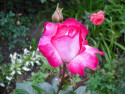 Tapeta růže 8