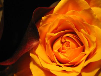 Tapeta: Růže a kala