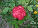 Tapeta Růže červeno-bílá