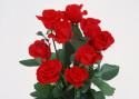 Tapeta Růže IV