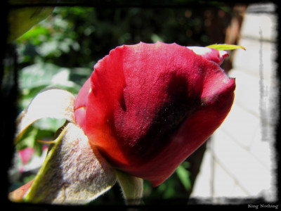 Tapeta: Růže_KN