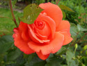 Tapeta Růže oranžová