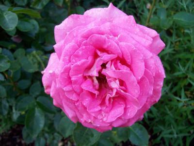 Tapeta: Růže po dešti