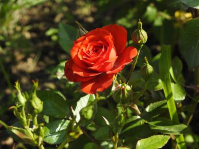 Tapeta: Růže růžová