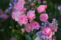 Tapeta Růže s levandulí