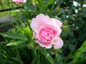 Tapeta Růže s poupaty