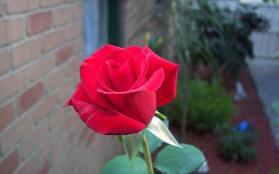 Tapeta: Růže V