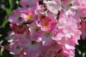 Tapeta Růže v květu