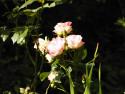 Tapeta Růže v přírodě
