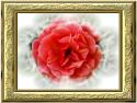 Tapeta růže v rámu
