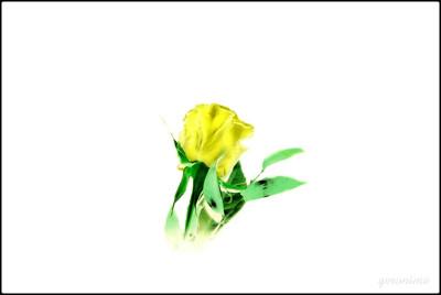 Tapeta: růže žlutá