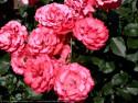 Tapeta Růže od Gaia Dream Creation 2