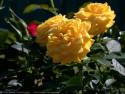 Tapeta Růže od Gaia Dream Creation 3