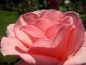 Tapeta Růžová13