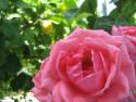 Tapeta Růžová3