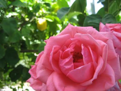 Tapeta: Růžová3