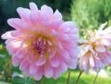 Tapeta Růžová jiřina