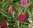 Tapeta růžová květina