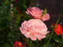 Tapeta Růžová růže