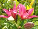 Tapeta Růžové lilie
