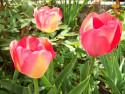 Tapeta Růžové tulipány
