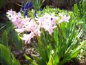 Tapeta Růžový hyacint