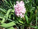 Tapeta Růžový hyacint 1