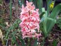 Tapeta Růžový hyacint 2