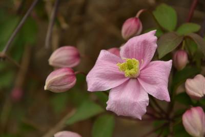 Tapeta: Růžový klematis