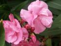 Tapeta růžový květ