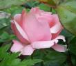 Tapeta Růžový květ růže