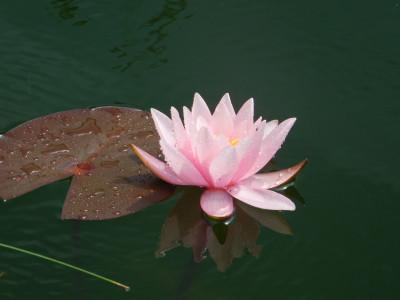 Tapeta: Růžový leknín