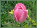 Tapeta Růžový tulipán