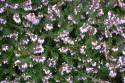 Tapeta Růžový vřesovec