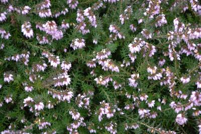 Tapeta: Růžový vřesovec