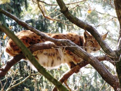 Tapeta: Rys - zoo Olomouc