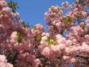 Tapeta Sakura