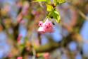 Tapeta Sakura96