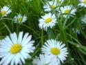 Tapeta Sedmikrásky v trávě