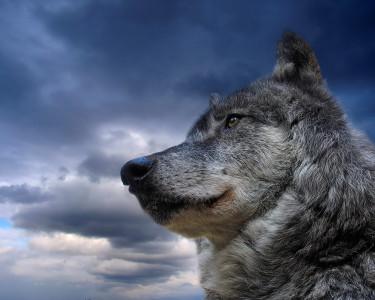 Tapeta: Šedý vlk