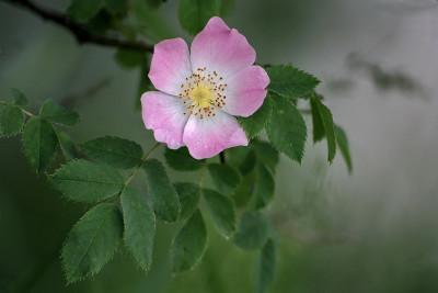 Tapeta: šípková růže